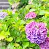 鎌倉 紫陽花スポット ハート型の紫陽花を求めて気軽に寄れる場所