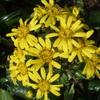 石蕗(つわ)の花