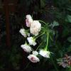 花首が細長いのか、花が重いのか…