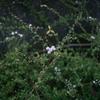 ユキヤナギが咲き出しました
