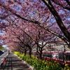 桜クエスト0(三浦海岸 河津桜)