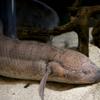プロトプテルス・アネクテンス Protopterus annectens