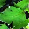 スイカ・トマト水耕栽培苗 植え付け後一週間のようす