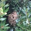 浜松市で駐車場にできたスズメバチの巣を駆除してきました