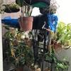 夫の趣味   ベランダ狭しと置かれた植木鉢たち