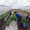 トマト苗とキュウリ苗の植え付け