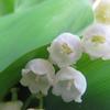スズランのお花