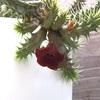 ダークなイボイボの花