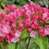「佐久の季節便り」、「カルミア・オスボレット」が開花、華やかに…。