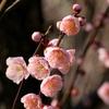【大阪】2月は『大阪城梅林』で梅見がオススメ!100品種1270本の梅が見られます