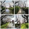 二ヶ領用水の桜 開花状況 3月25日版