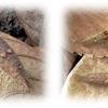エノキ下の越冬幼虫の探索