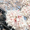 九華公園でお花見