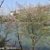 姥桜(うばざくら)