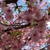 河津桜が美しいので写真を撮った