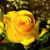 居間の切り花は 黄色いバラ!