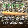 ヒドジョウの飼育方法・混泳・餌・底砂・寿命徹底解説!