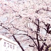 甚六桜が満開になりました🌸