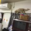 猫(マンチカン)を1ヵ月飼って分かったマンチカンの特徴