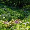 権現堂公園の紫陽花