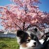 河津桜が見頃です