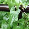 オニドコロとヤマノイモ、毒と食用を見分けるポイント