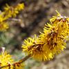 蝋梅だけではない黄色の花が美しい埼玉県長瀞町の宝登山とカキ氷