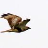 手賀沼湖上を飛ぶノスリ