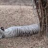 インド、バンガロールBannerghatta Biological Park☆サファリ編!ホワイトタイガーが美しすぎる!