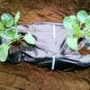 芽キャベツ、プチヴェール、スティックセニョール、水菜を植えました。