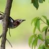 キヅタの黒い実を食べるコムクドリ
