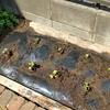 大根苗を植え付ける