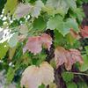 ツタの葉の紅葉