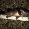 秋田第5戦&根魚、投げサビキ釣り