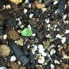 チアの芽とPTAのベルマーク