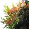 ささやかな紅葉&大根の甘酢漬け