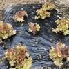 サニーレタスが成長を加速させました。シュンギク、ほうれん草も順調