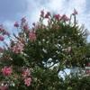 サルスベリの花と実