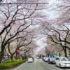 相模原市内の桜の開花状況 3月23日現在