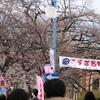 『こすぎ桜まつり』でお花見に行ってきた