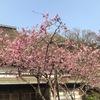 鎌倉海蔵寺 花のお寺の春.ハナカイドウは特に知られていますね.リンゴ属の美しい花です.その他にも沢山の花々を楽しめます.しだれ桜(多分),シャガ,ユキヤナギ,そしてミツマタ.モミジの赤い新芽.緑ももちろん.ツツジ・シャクナゲ・ヤマブキ・アセビ----.鎌倉駅から海蔵寺に向かう道では,満開のサクラを何本も.