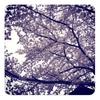 素人が撮った桜の写真は不気味 - お花見ラン