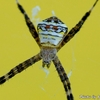 自宅バルコニーのクモ