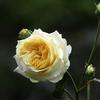 薔薇 サンライト・ロマンチカ