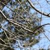 枯れ枝にとまるエナガ