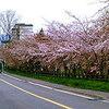 [名桜探訪]★洞爺湖湖畔(名桜探訪⑱)