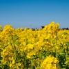 【写真】菜の花と水仙☆耳をすませば春の足音が聞こえるかな?