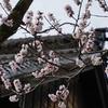 雨宝院 杏子の木