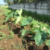 高温多湿条件で成長を加速させつつあるサトイモと加速度が見られないオクラ