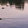 不忍池のオナガガモ